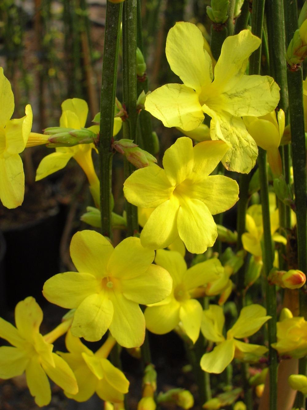 du soleil en hiver avec le jasmin nudiflorum